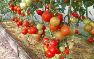 Какие сорта томатов выращивать в теплице из поликарбоната?