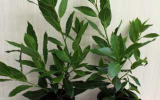 Как в домашних условиях выращивать лавровое дерево?