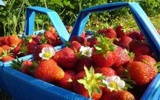 Как выращивать садовую землянику в открытом грунте?