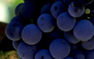Как правильно выращивать и ухаживать за виноградом?