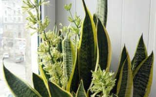 Как выращивать щучий хвост в домашних условиях?