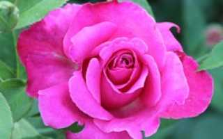 Лучшие сорта роз гийо