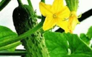 Сорта огурцов которые можно выращивать на подоконнике