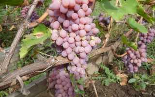 Где выращивают самый лучший виноград таджикистан
