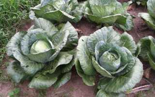 Как выращивать капусту белокочанную в открытом грунте?