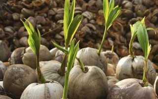 Как выращивать кокос в домашних условиях?