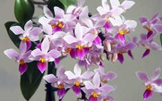 Как выращивать орхидеи в домашних?