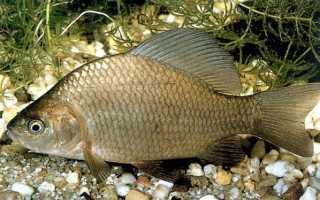 Какую рыбу выращивают в домашних условиях?
