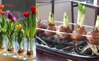 Как выращивать тюльпаны в домашних условиях без земли?