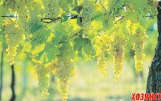 Лучшие сорта рыночного винограда