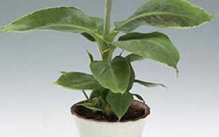 Выращиваем банан в домашних условиях