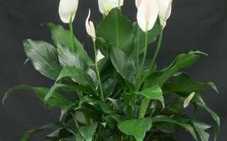 Как выращивать спатифиллум в домашних условиях?