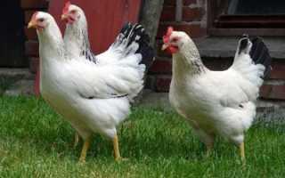 Как выращивают кур во франции в домашних условиях?