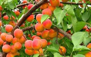 Самые лучшие сорта абрикоса