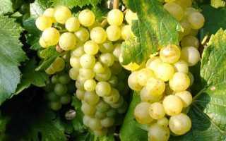 Лучшие сорта винограда для виноделия