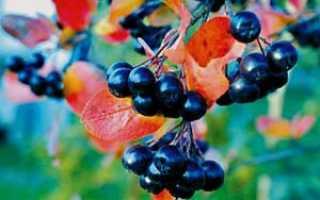 Лучшие сорта рябины черноплодной