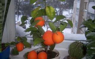 Выращиваем мандарины из косточки в домашних условиях