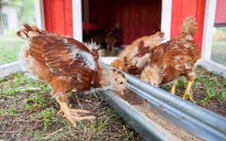Как выращивать суточных цыплят в домашних условиях?