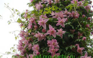 Ботанические клематисы лучшие сорта
