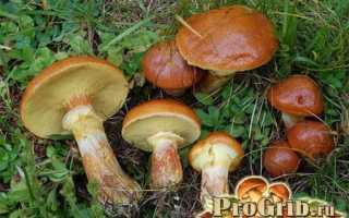 Как выращивать грибы маслята в домашних условиях?