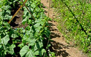 Как выращивать огурцы в открытом грунте не подвязывая?