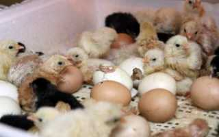 Как выращивать цыплят из инкубатора в домашних условиях?
