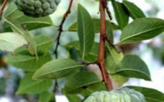 Гуанабана как выращивать в домашних условиях