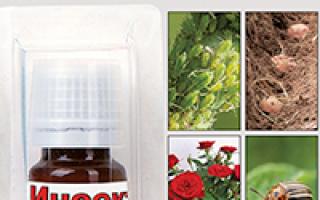 Можно ли анютины глазки выращивать дома круглый год?