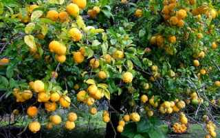 Какие сорта лимона выращивают в домашних условиях?