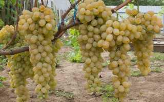 Виноград белый лучшие сорта