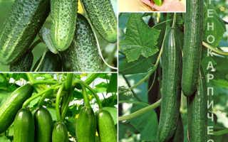 Как выращивать партенокарпические огурцы в теплице?