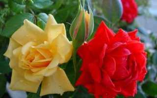 Бордюрные розы лучшие сорта