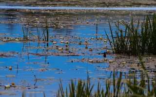 Водяной выращивал для русалок лилии кувшинки и лотосы