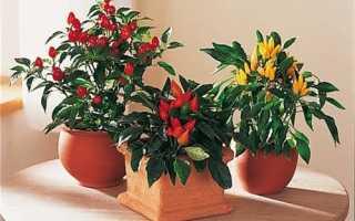 Как выращивать красный перец в домашних условиях?