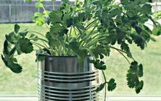 Как выращивать кинзу в домашних условиях зимой?