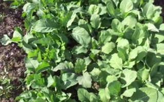 Как выращивать цветную капусту из семян в домашних условиях?