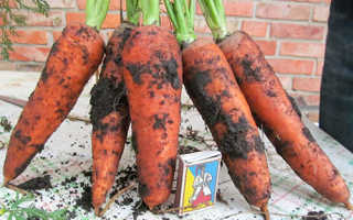 Лучшие сорта моркови абако