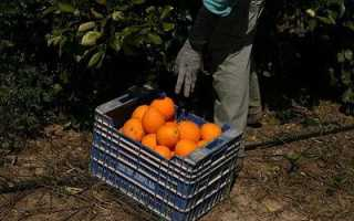 Какая страна выращивает самые крупные апельсины?