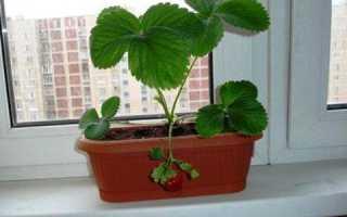 Можно ли выращивать клубнику дома на подоконнике?