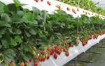 Можно ли выращивать клубнику круглый год в теплице?