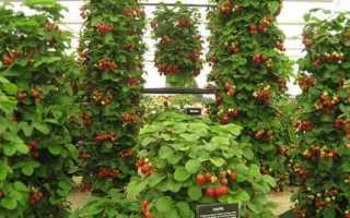 Как выращивать вьющуюся клубнику в открытом грунте?