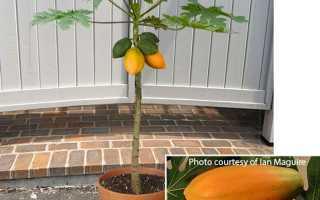 Как выращивают манго в домашних условиях?