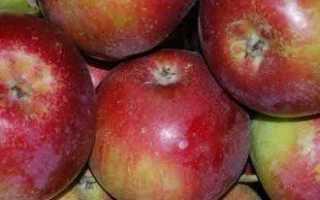 Самый лучший сорт яблони