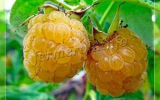 Лучший сорт желтой малины