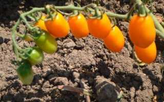 Можно в сентябре продолжить выращивать помидоры