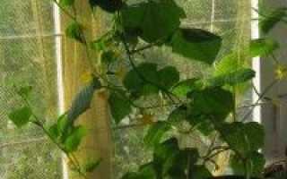 Можно ли выращивать огурцы зимой в домашних условиях?
