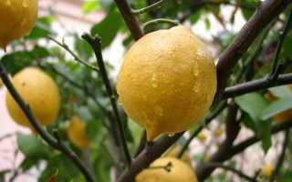 Как ухаживать и выращивать лимон в домашних условиях?