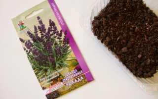 Как выращивать лаванду из семян в домашних условиях?
