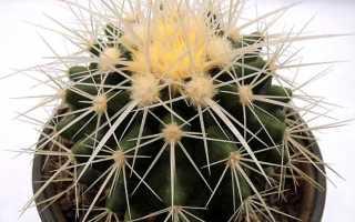 Как выращивать кактус в домашних условиях?