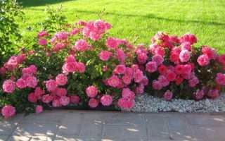 Розы почвопокровные лучшие сорта